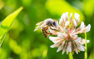 bee on clover flower widescreen hd wallpaper