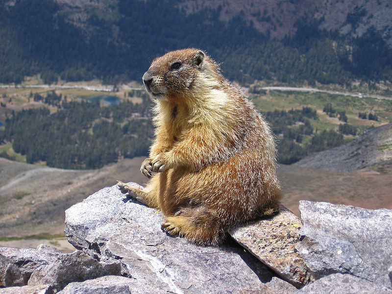 Mammals Animals: Marmot