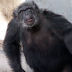Rescued Chimp Who Spent His Entire Life In a Lab Is Released Outside For The First Time Ever