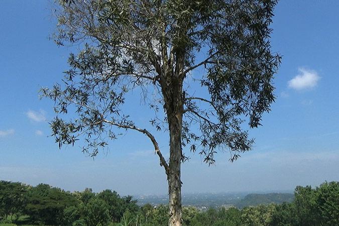 Dlium Cajuput (Melaleuca cajuputi)
