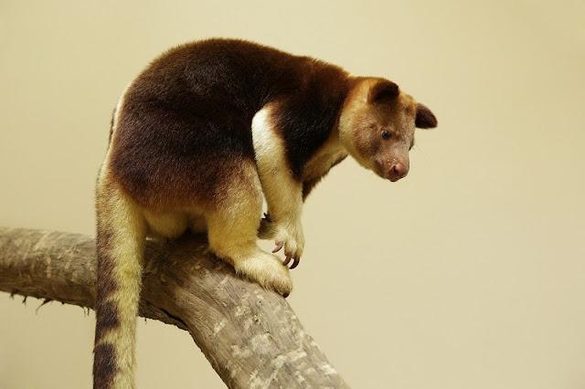 Singapore Zoo Kangaroos On Tree World Of Makaia And Nupela