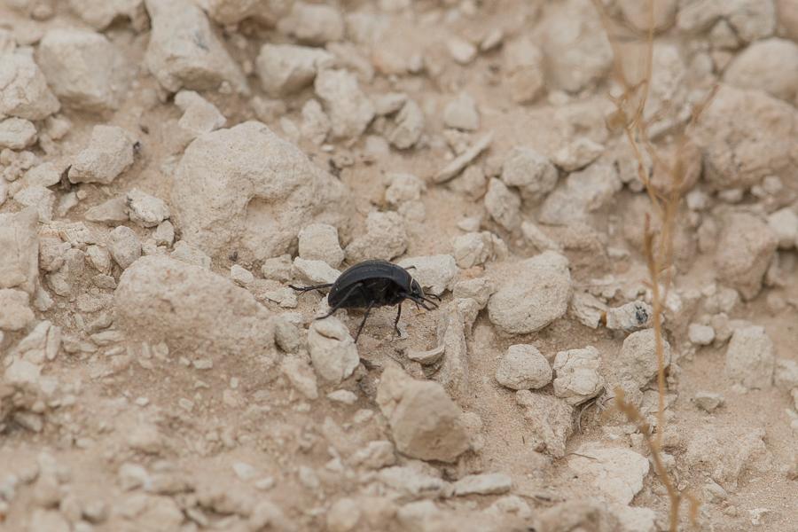 Arabian Darkling Beetle