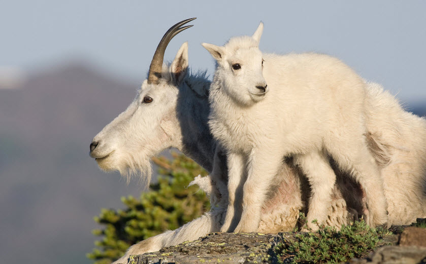 Mountain Goat | The Biggest Animals Kingdom