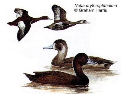 Pato castaño Netta erythropthalma