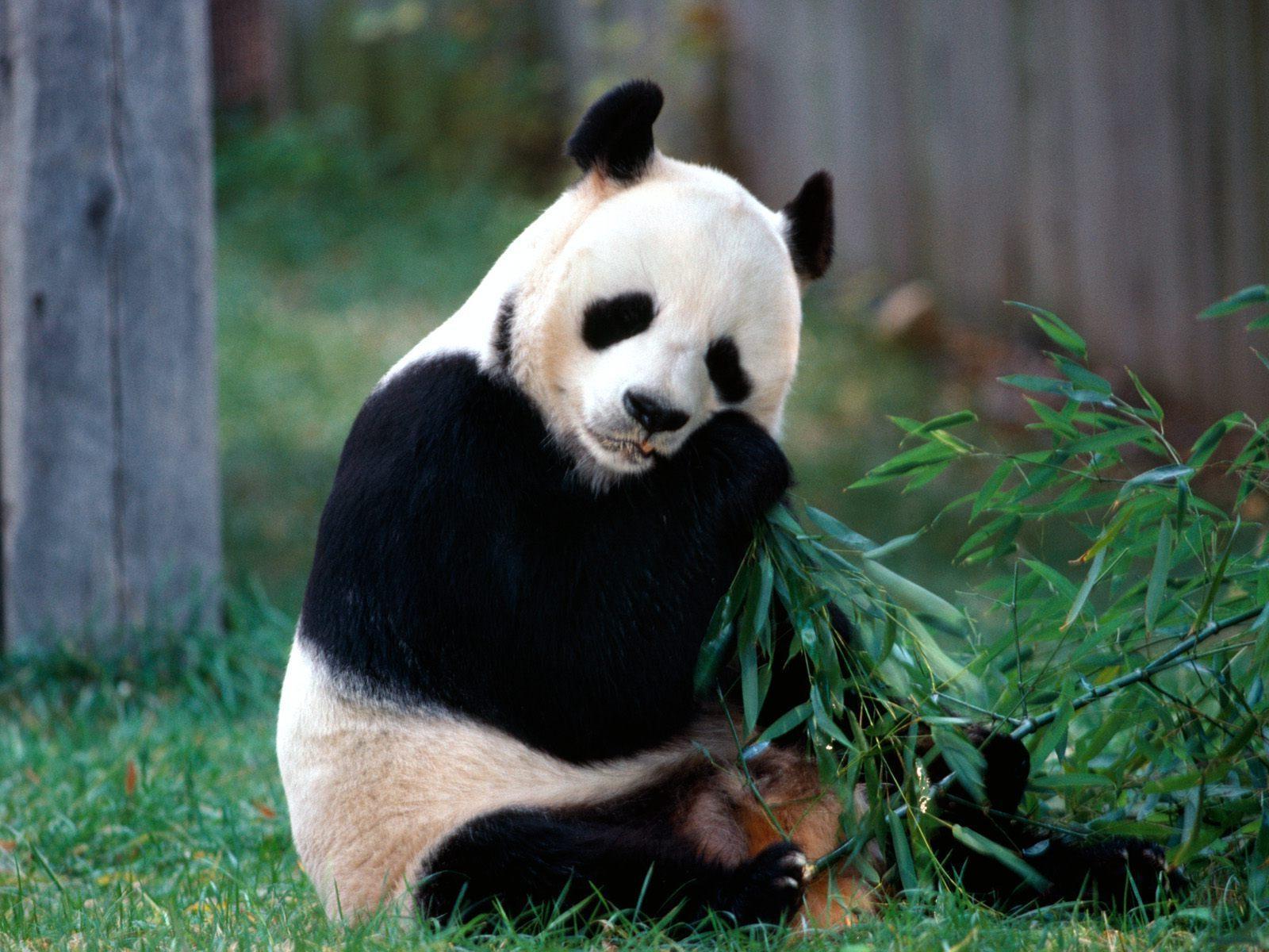 imagenes animales en alta definicion imagen oso panda comiendo. Black Bedroom Furniture Sets. Home Design Ideas