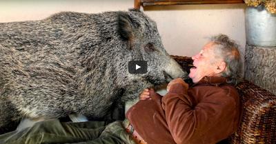 Ζευγάρι στην Ιταλία έχει για κατοικίδιο ένα αγριογούρουνο video