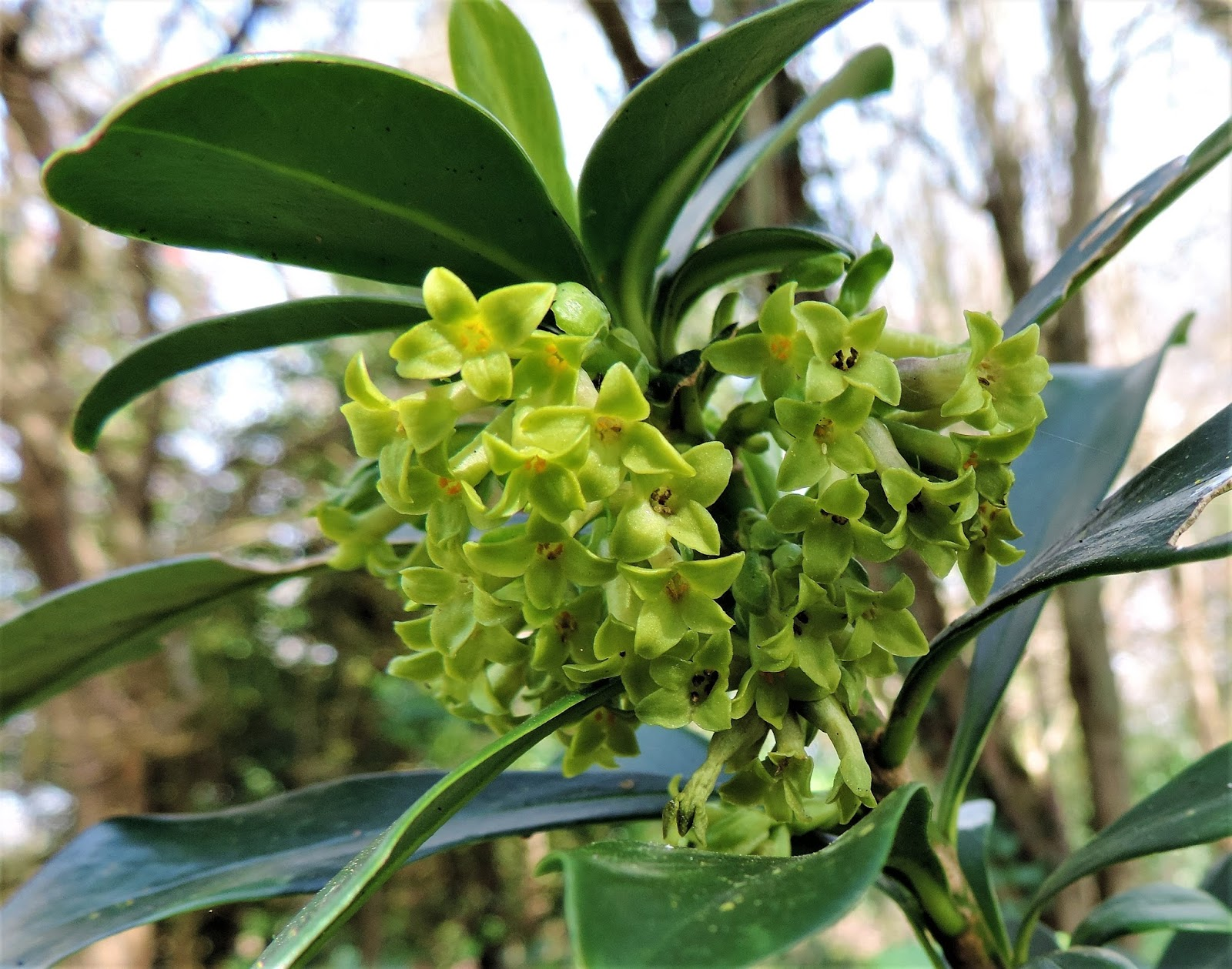 Ramblings of a naturalist flowers that waste their sweetness very close to the spurge laurel we have an ever extending bed of lesser periwinkle vinca minor blue flowers are normally rather attractive to insects but izmirmasajfo