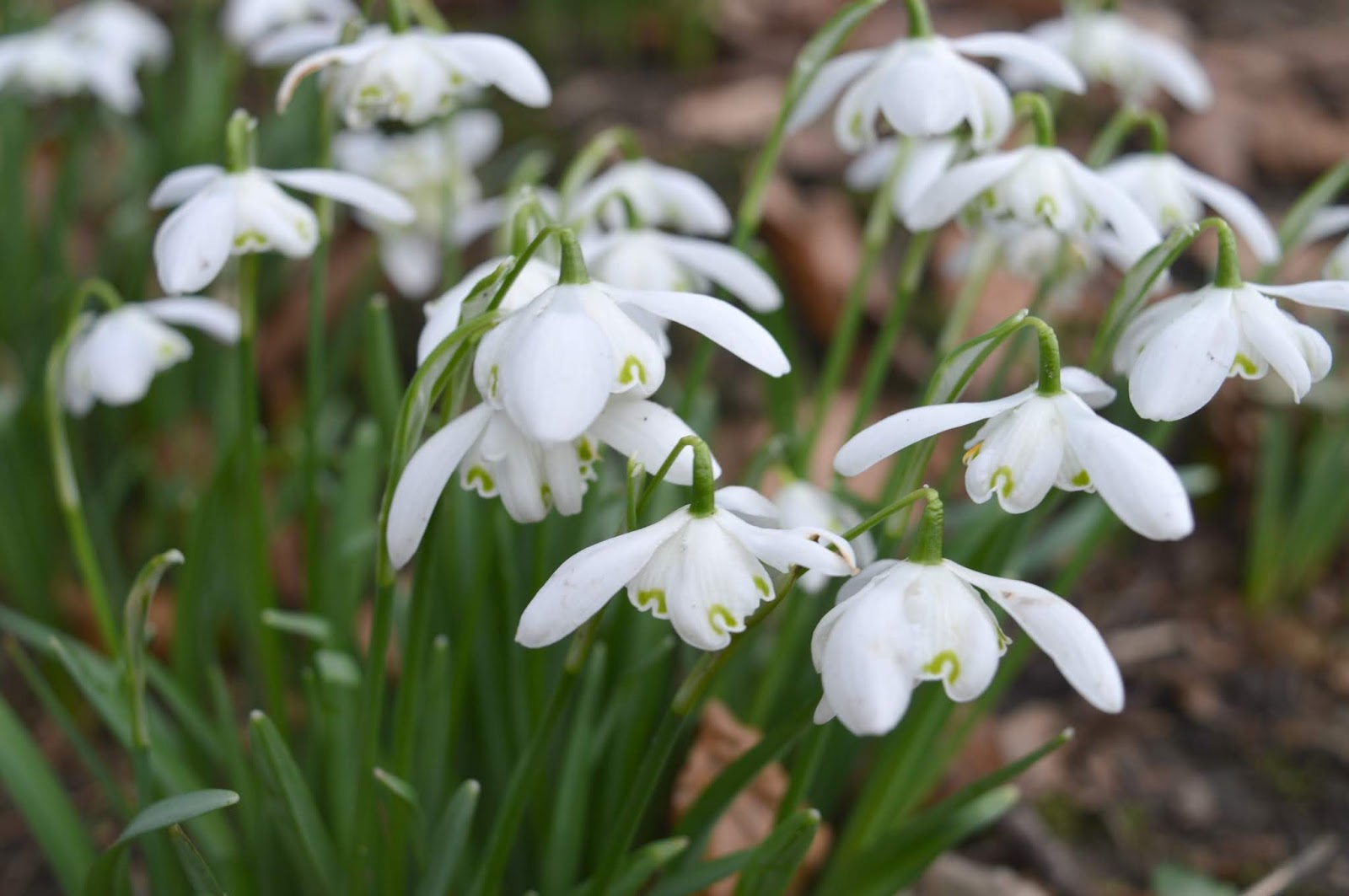 Snowdrops at Belsay Hall, Castle and Gardens