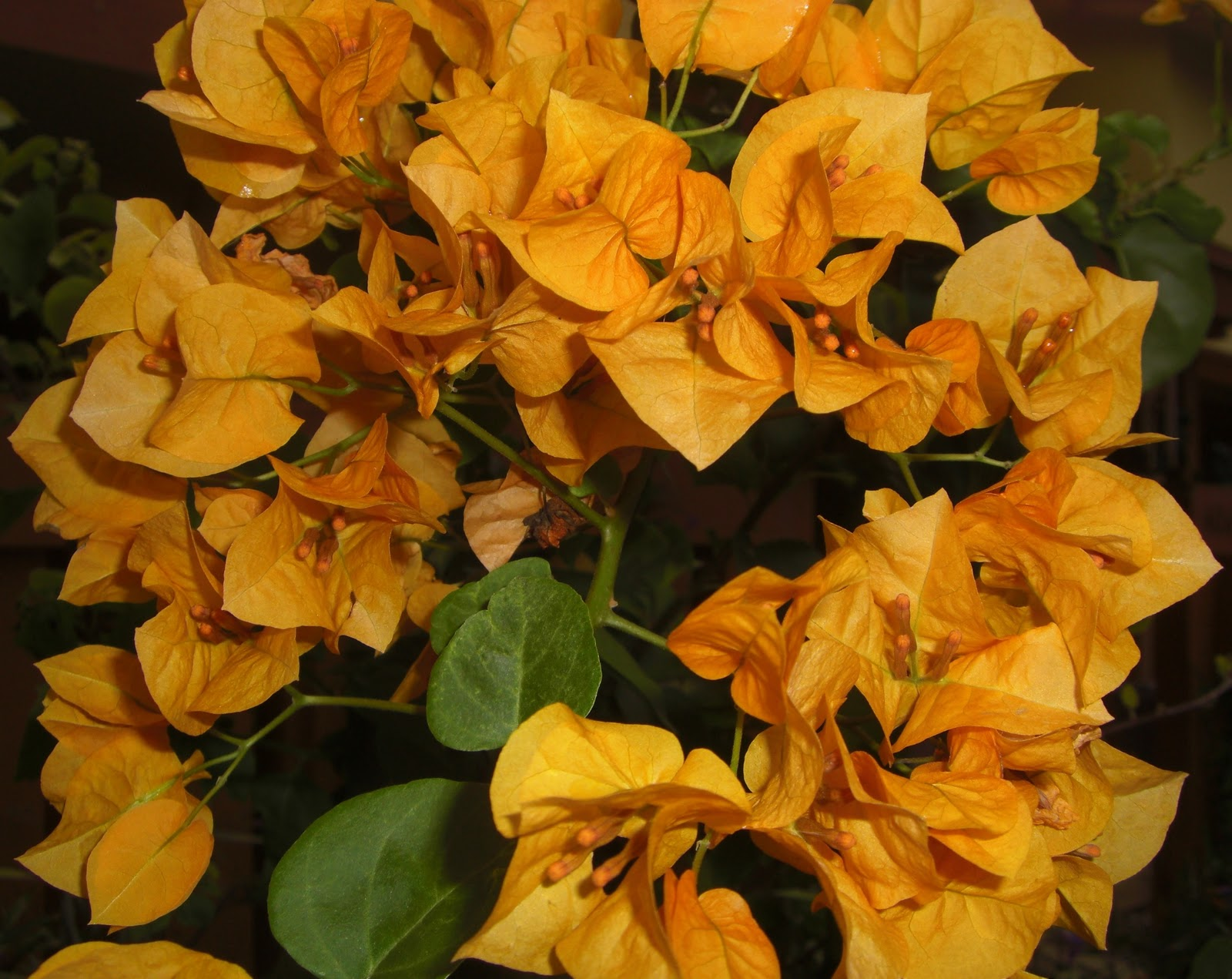 Gardening In South Florida: Yellow Bougainvillea