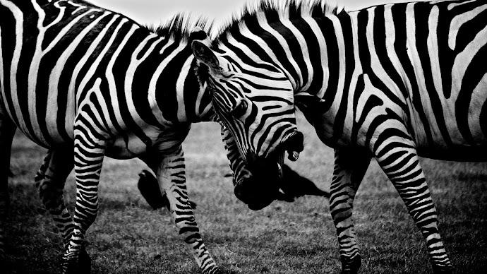Wallpaper: Zebras