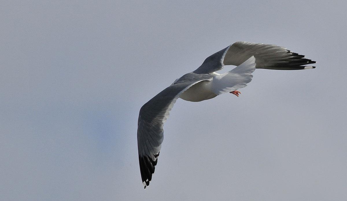 hvide vinger tegning
