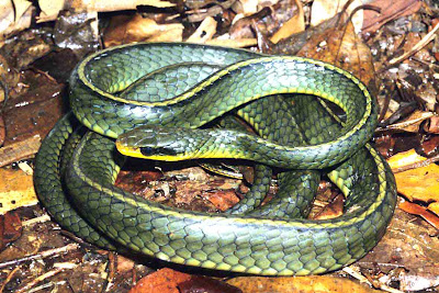 Cobra cipó Chironius bicarinatus