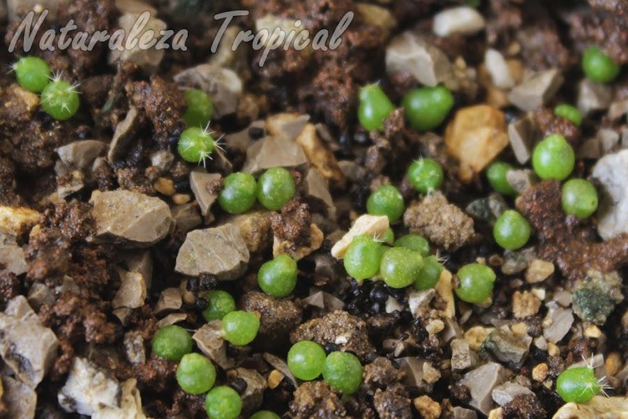 Otro semillero nuestro de cactus del género Parodia