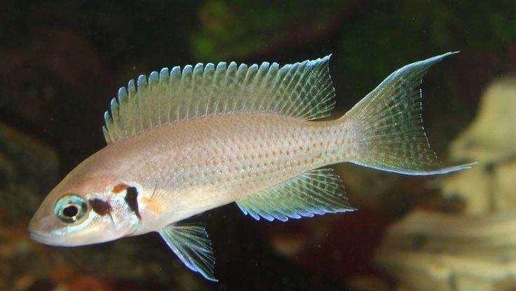 58. Jenis Ikan Hias Aquascape Brichardi Cichlid