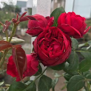phan bon cho hoa hong