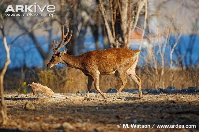 Javan rusa deer