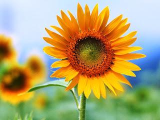 Gambar Bunga Matahari Paling Indah 200012_Sunflower