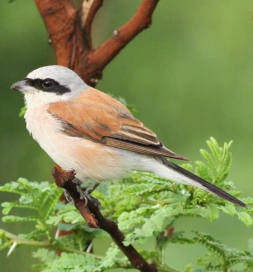Indian birds - Photo of Red-backed shrike - Lanius collurio
