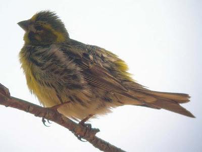 Juvenil de verdecillo (Serinus serinus)