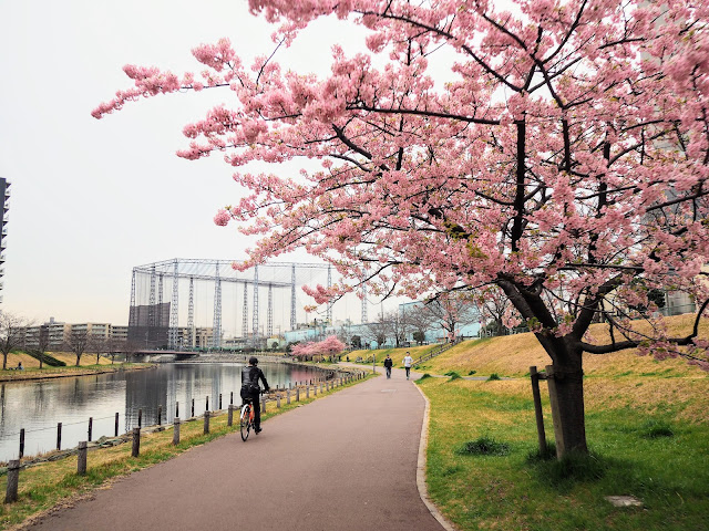 旧中川水辺公園 河津桜