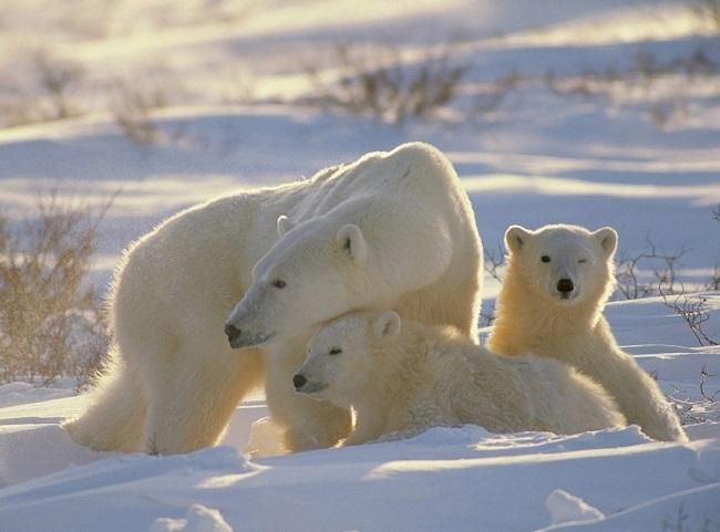 Oso polar u oso blanco