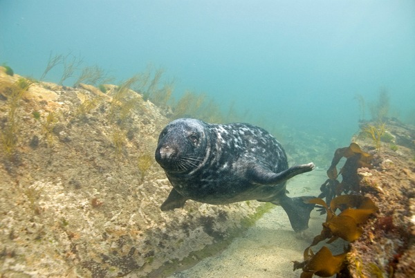 Devon Wildlife Trust. Grey seal copyright Paul Naylor (marinephoto.co.uk) All Rights Reserved.