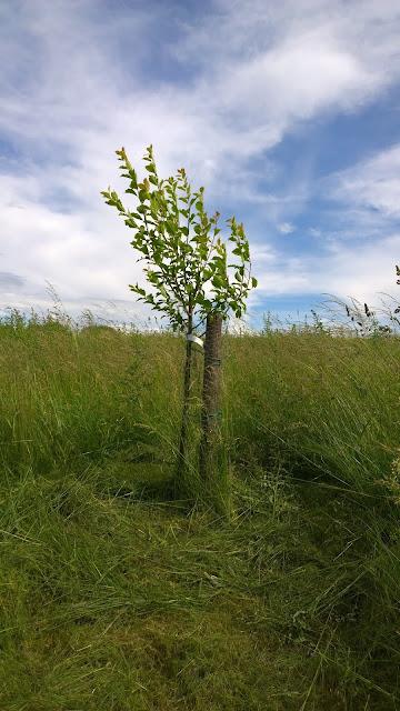 Zwetschgenbaum im hohen Gras (c) by Joachim Wenk