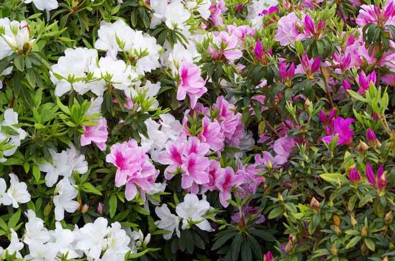 Azalea, flowers, hillside