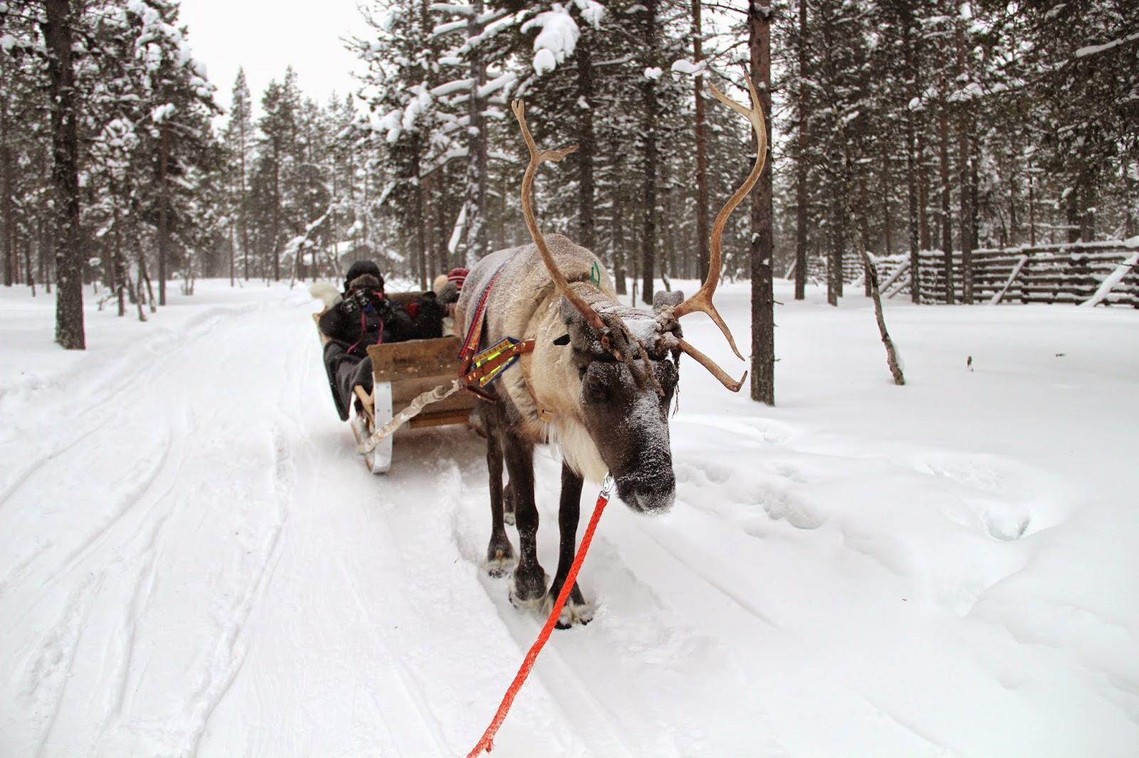 Reindeer Sled Arctic Circle