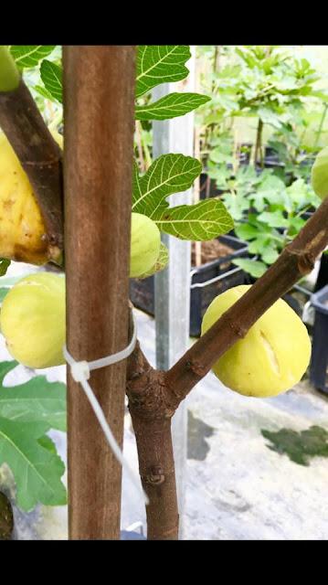 PRINCESA Figs