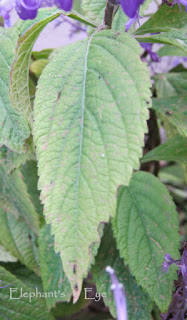 Leaf of tall Plectranthus