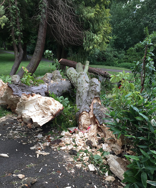 Fallen Horse-chestnut in The Knoll, Hayes.  8 June 2017.