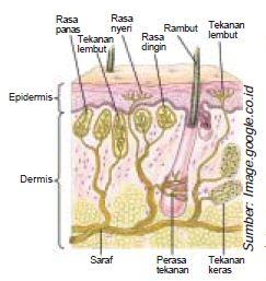 Anatomi Fisiologi Bagian-Bagian Kulit Serta Fungsi Reseptor pada Struktur Alat Indra Peraba Manusia