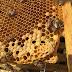 Microorganismos de las abejas, con aplicaciones importantes en la industria