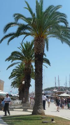 Palms in Trogir