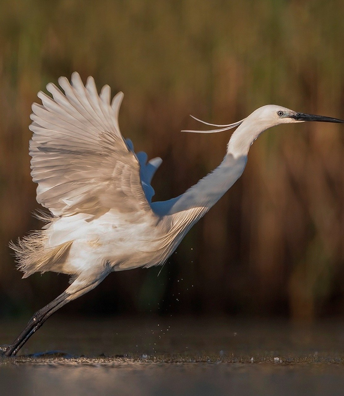 White egret lift off.