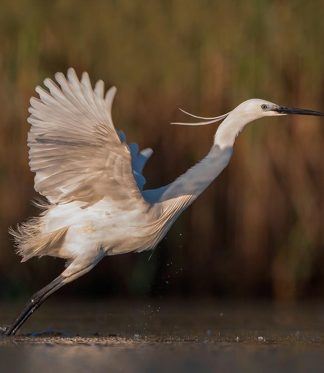 White egret lift off.