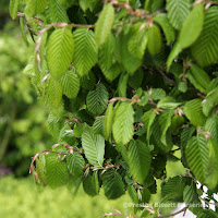 http://www.thenurseries.com/hornbeam-carpinus-betulus-bare-root-hedging-plants-125cm-p-3801.html