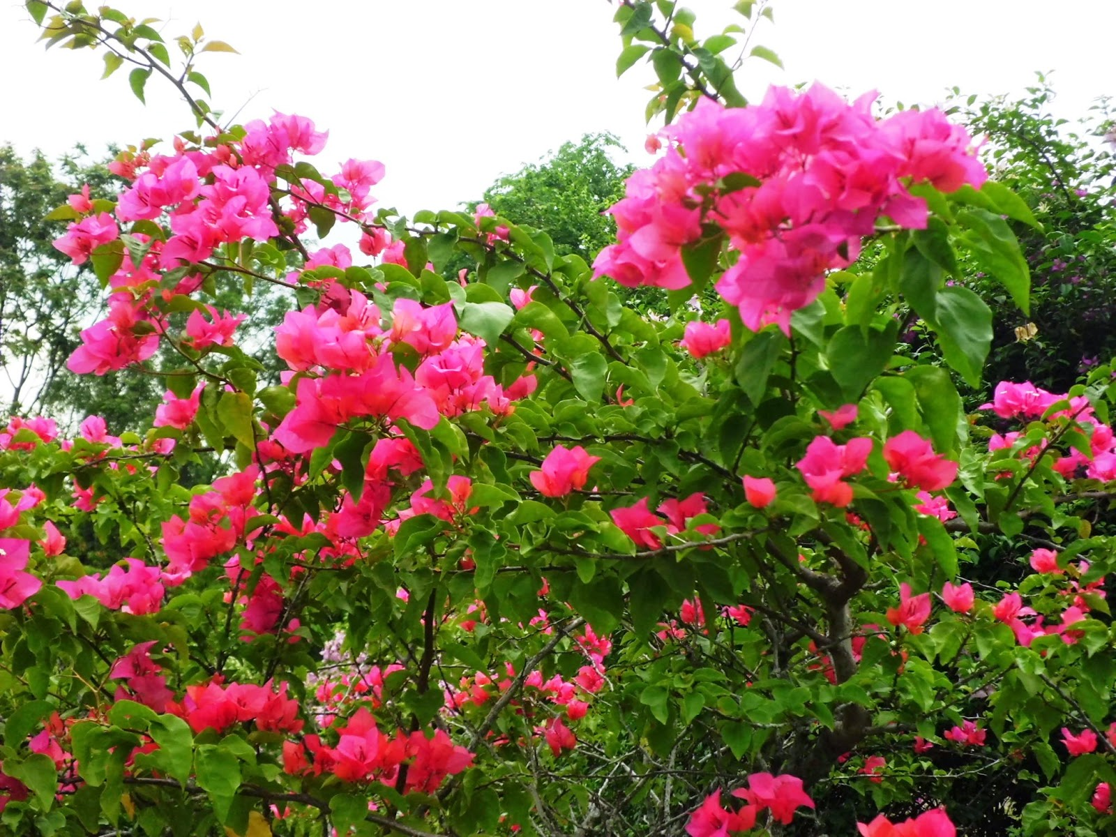 Hot pink Bougainvillea are plants easily grown but flower best with adequate sunshine, fertilizer and water.