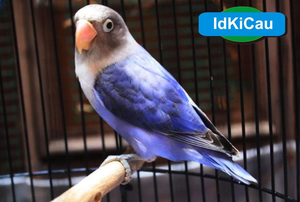 Kabar Terbaru Ciri Ciri Lovebird Jantan Terbukti Kabarterbaru Co