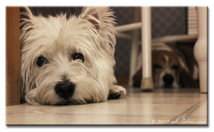 Westie and Basset on the floor.