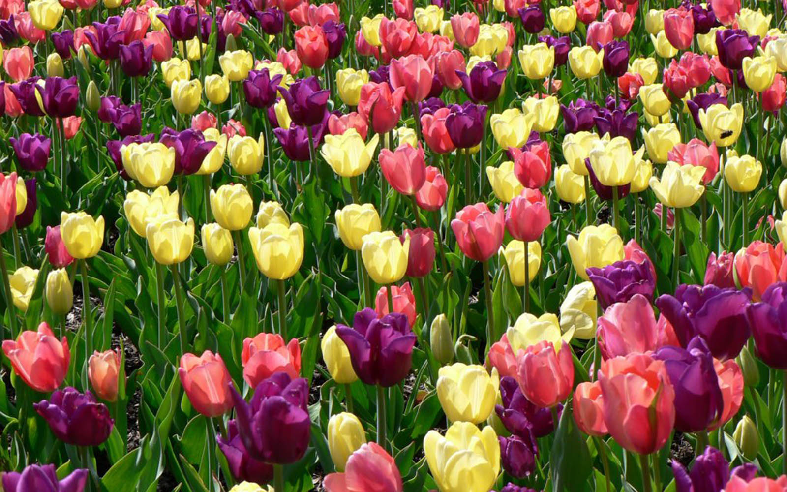 wallpapers: Spring Flowers Wallpapers - photo#46