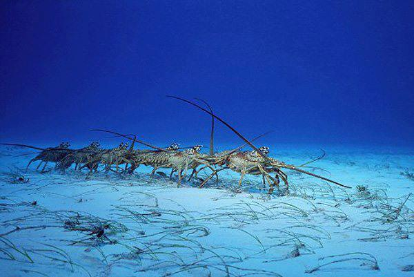 Lobsters Conga Line Migration, One Lucky Soul