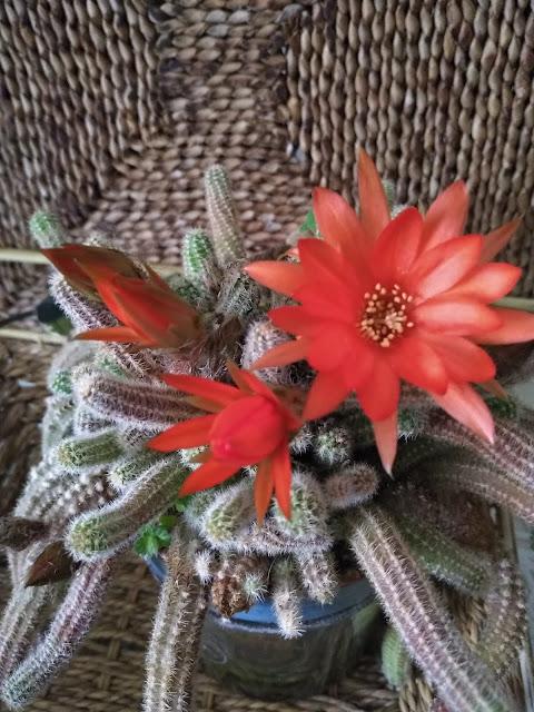 las flores de los cactus