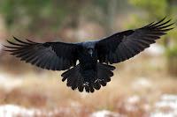 Perchè i corvi sono neri?