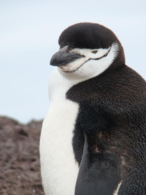 Antarctica Eyewitness : PENGUIN LOVERS - HUG A PENGUIN TODAY!