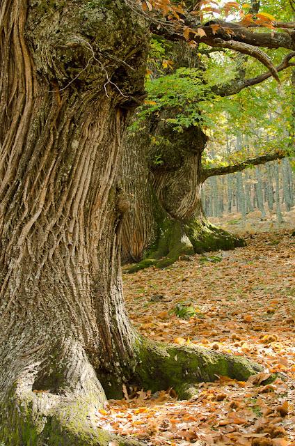 Castaños en otoño Castañar de El Tiemblo