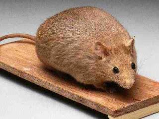 к чему снится мышь, сонник мышь