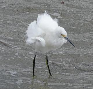 Schmuckreiher in Vogelbeobachtungen Fort de Soto Park, Florida USA
