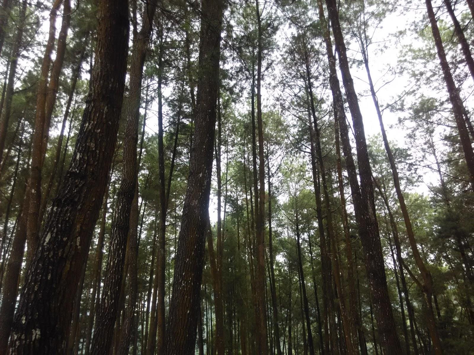 Ini Dia Destinasi Wisata Hutan Pinus Nongko Ijo di